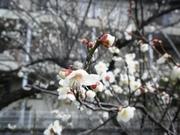 100221_梅の花.jpg