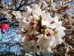 100411_小田原印刷局の桜1.jpg