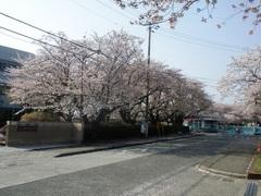 100411_小田原印刷局の桜2.jpg