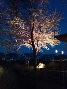 渋田川の夜桜1.jpg